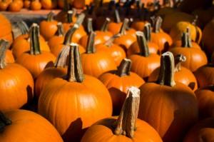 Pumpkins at a San Carlos pumpkin patch.